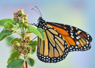 BH-monarch-2