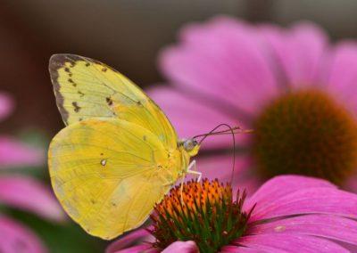 Sulphurbutterflyconeflower